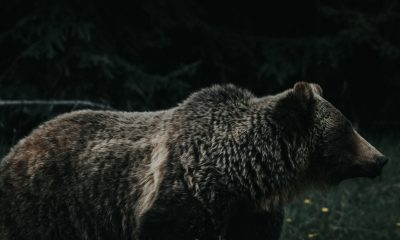 Bitcoin Cash [BCH/USD] Technical Analysis: The Grizzly-show has yet to end