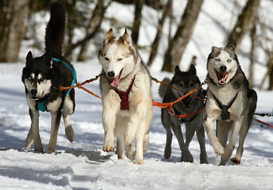 [Image: huskies-273409_1920-e1562920139966.jpg]